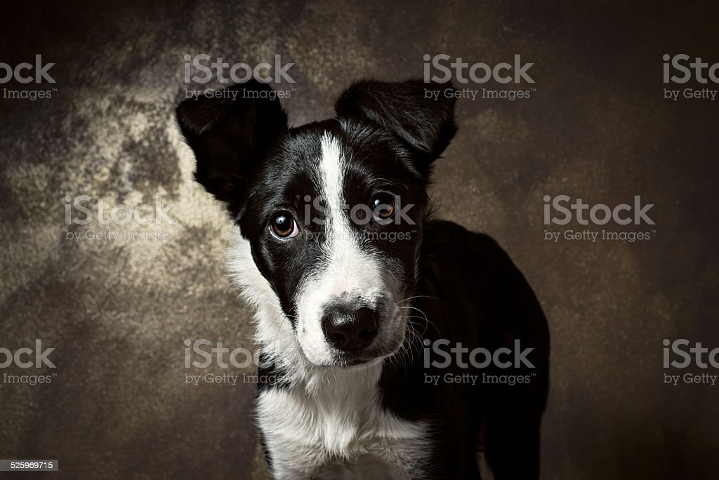 Puppy border collie portrait looking in front stock photo