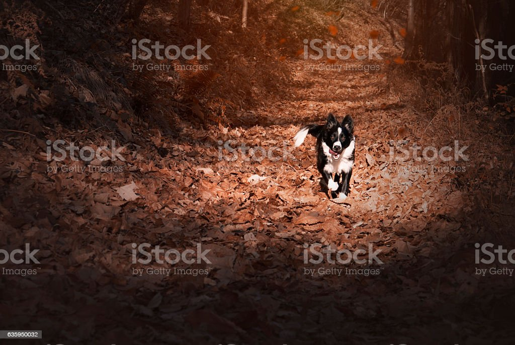 puppy border collie surrounded by autumn red stock photo