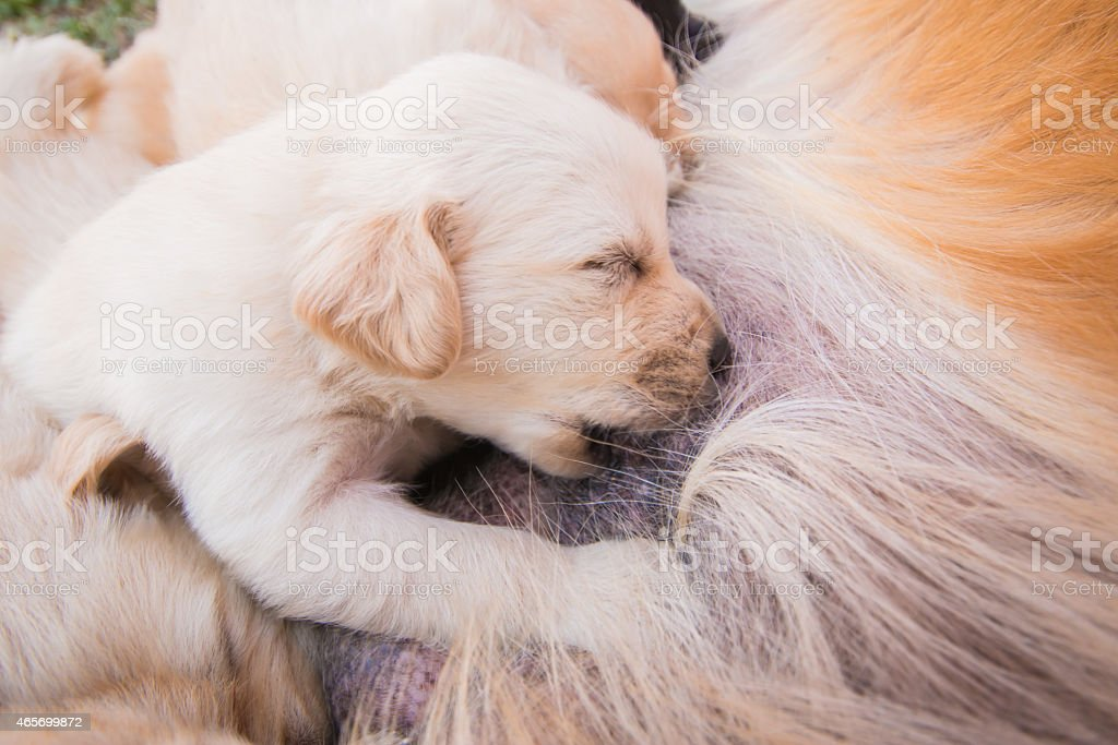 Puppy breastfed stock photo