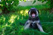 puppy breed German Shepherd