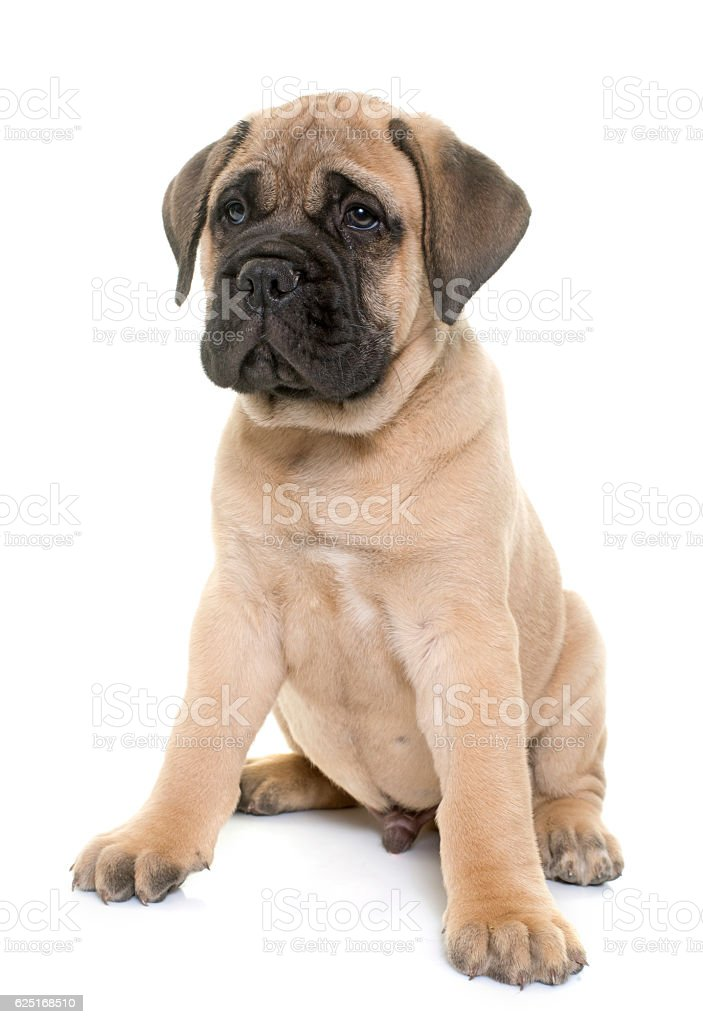 puppy bull mastiff stock photo