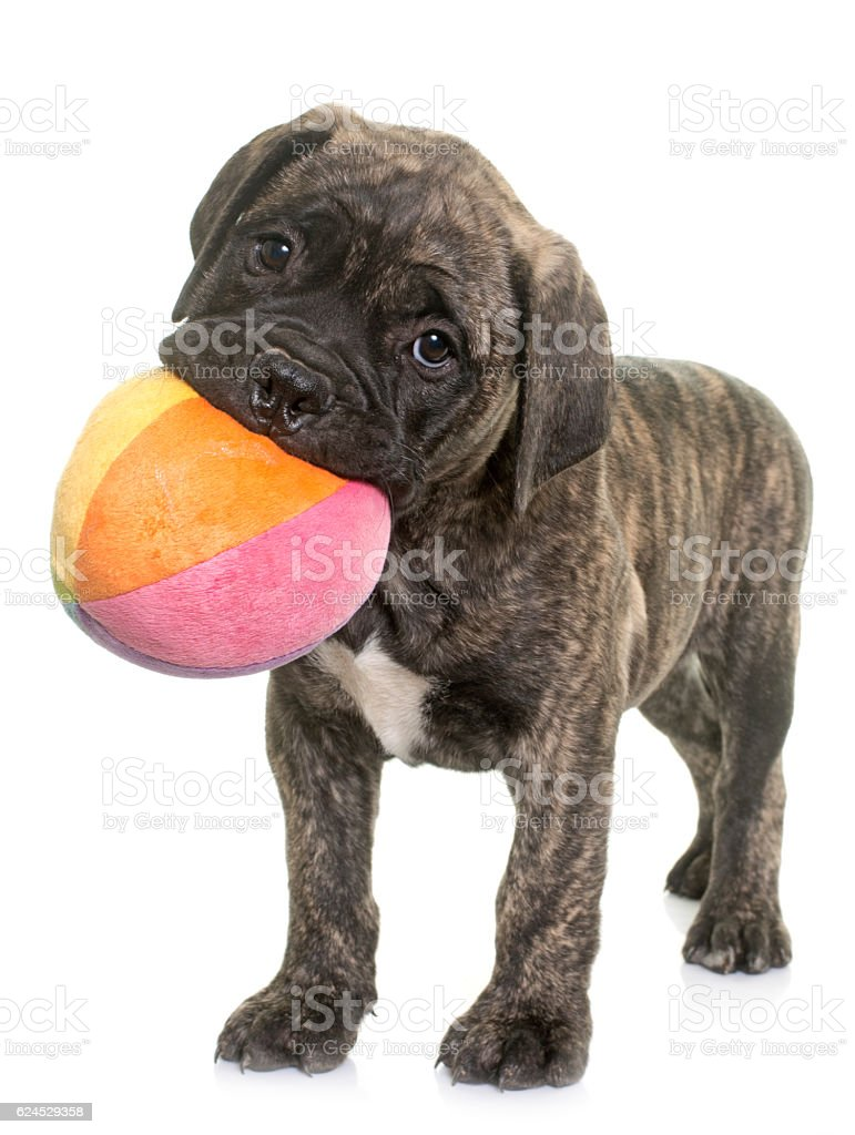 puppy bull mastiff playing stock photo