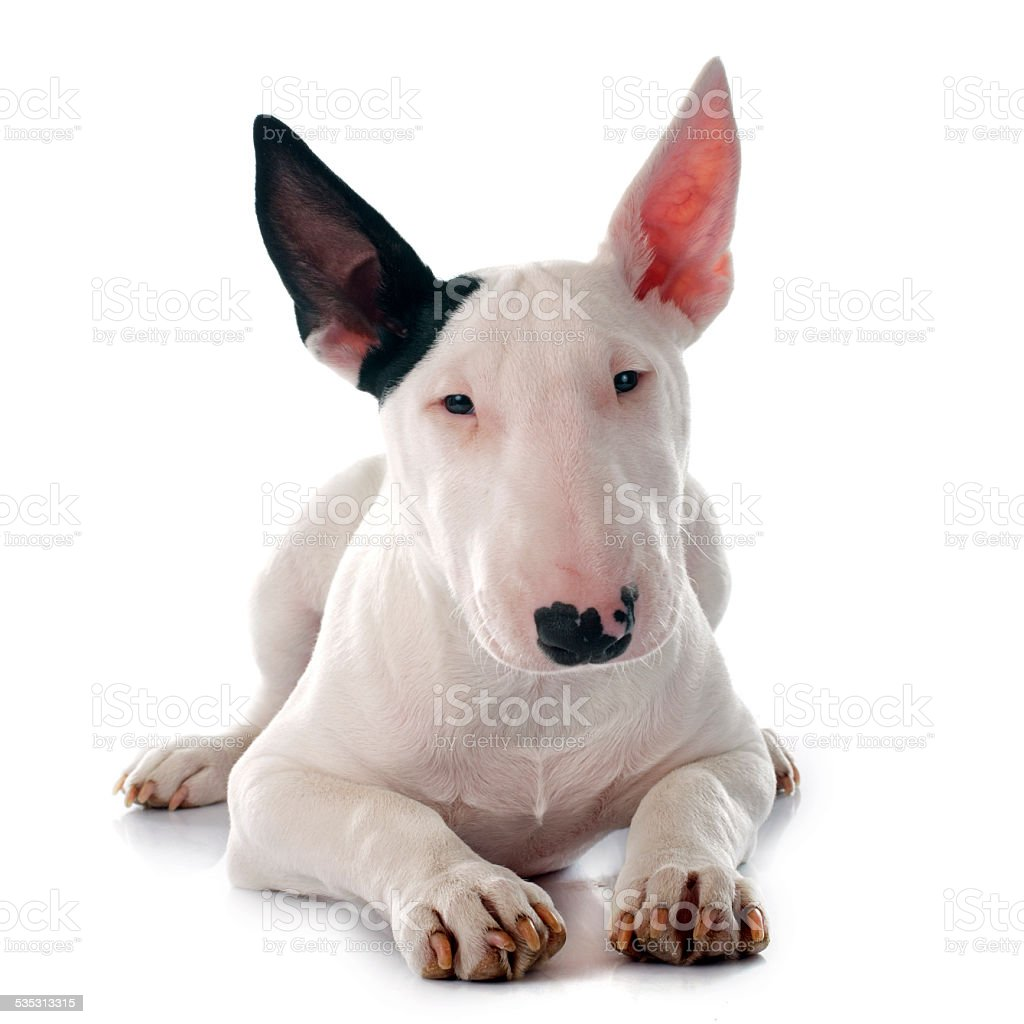 puppy bull terrier stock photo