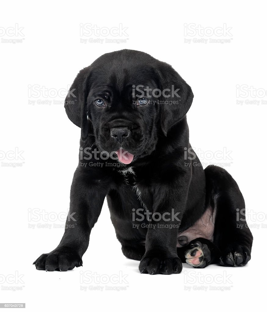 puppy Cane Corso stock photo