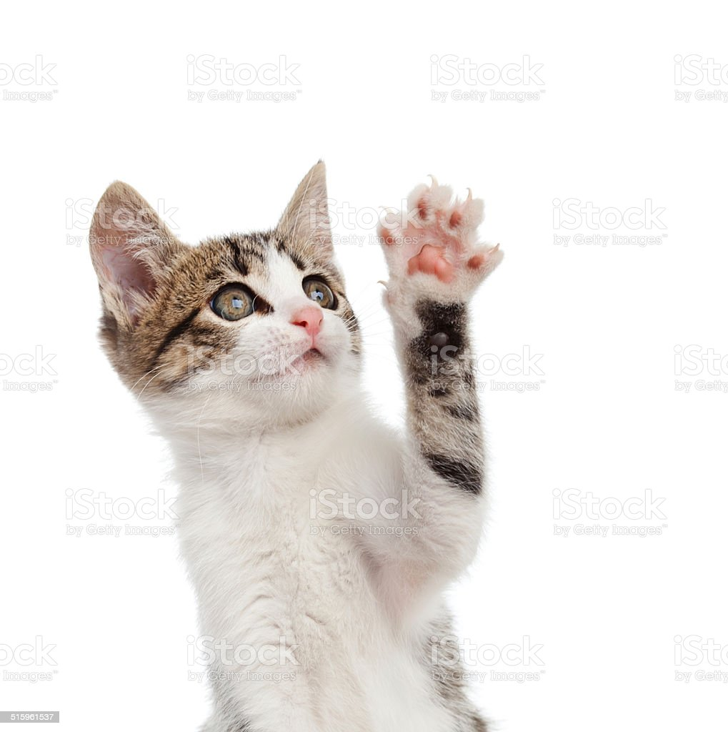 Puppy cat greeting with paw stock photo