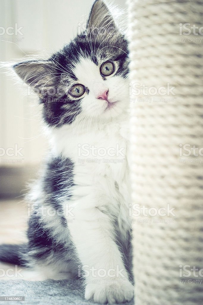 Puppy Cat playing royalty-free stock photo