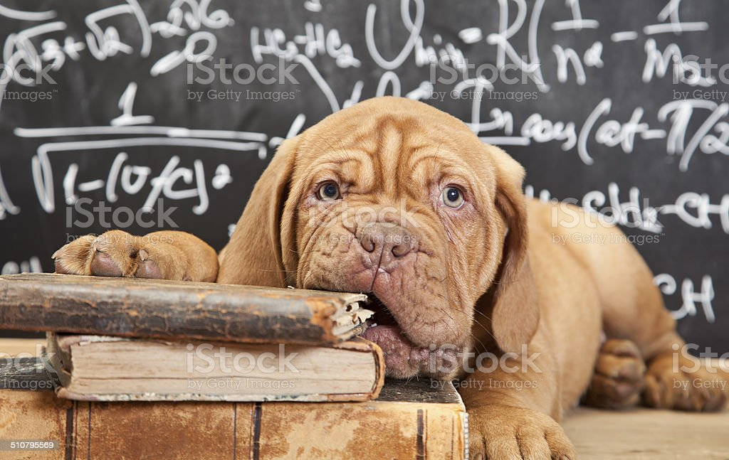 Puppy chewing a book stock photo