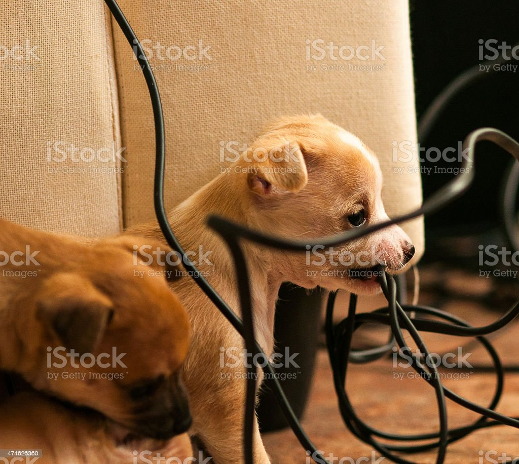 puppy chewing electric cord stock photo