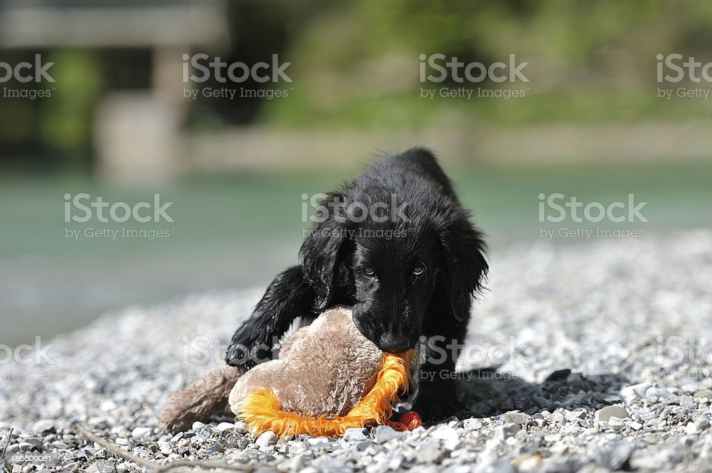 Puppy chewing furry toy on the beach royalty-free stock photo