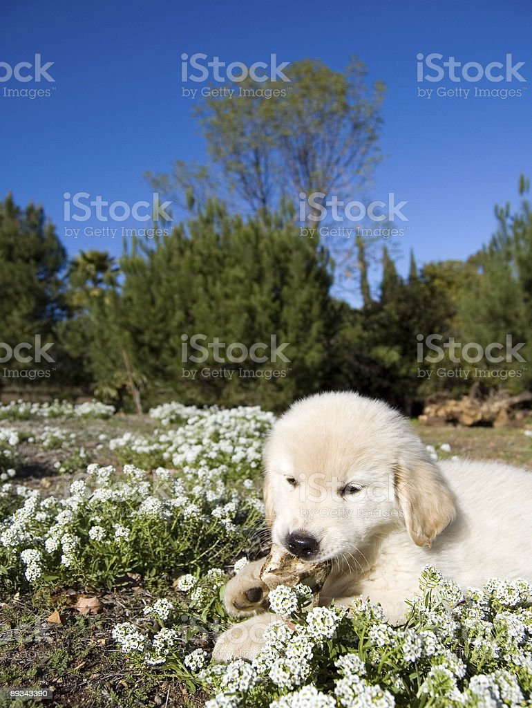Puppy Chewing royalty-free stock photo