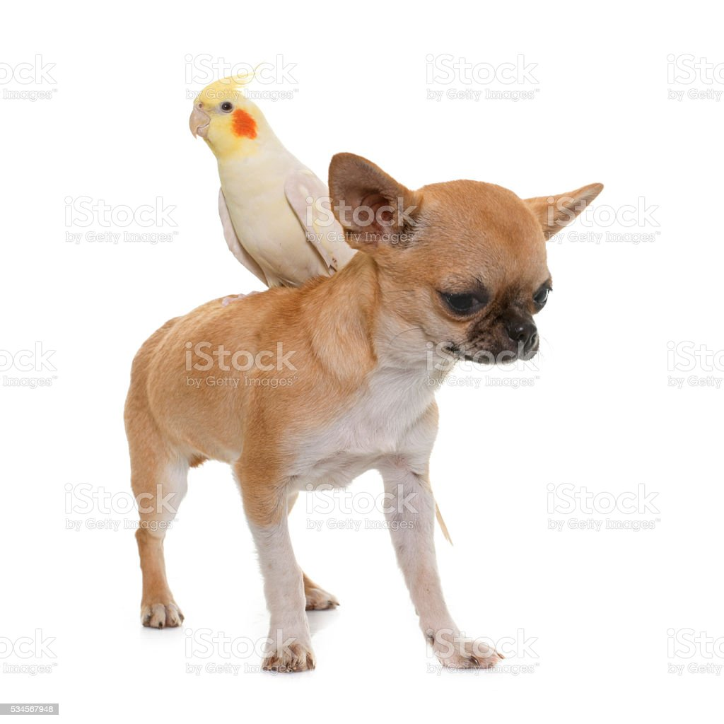 puppy chihuahua and cockatiel stock photo