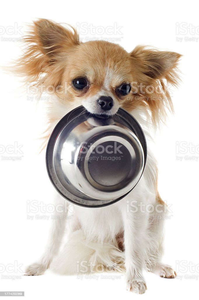 puppy chihuahua and food bowl stock photo