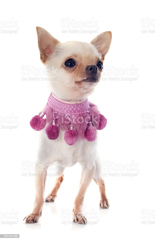 puppy chihuahua and pink collar royalty-free stock photo