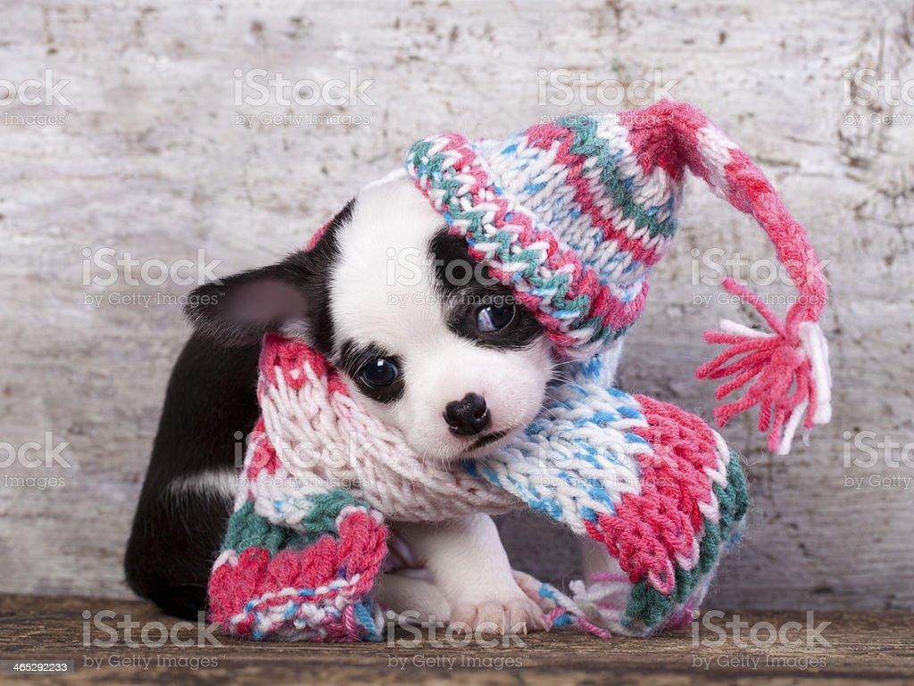 puppy Chihuahua wearing a knit hat stock photo