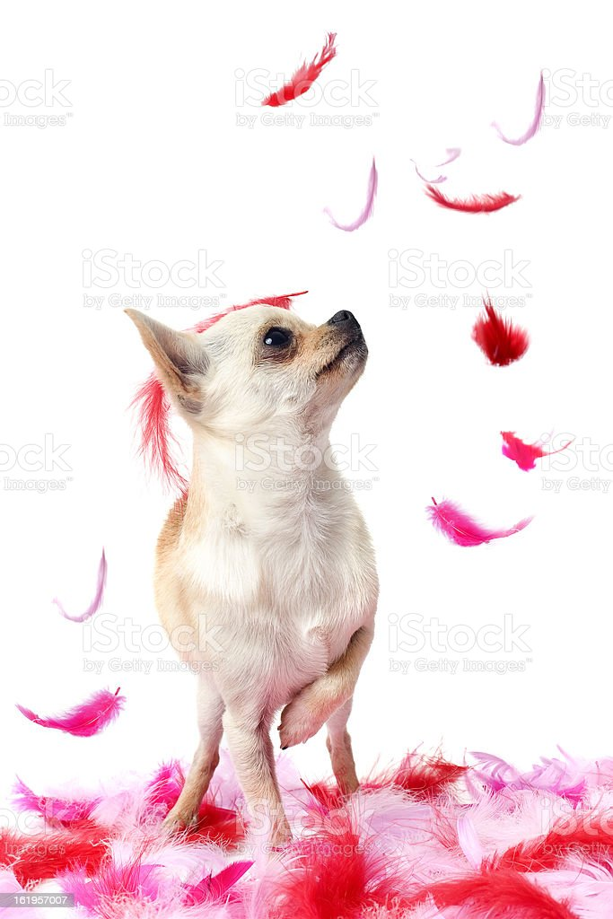 puppy chihuahua with pink feather royalty-free stock photo