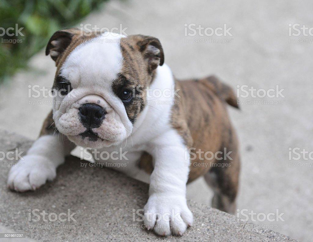 puppy climbing stairs stock photo