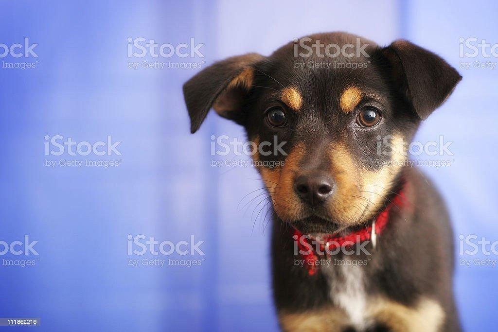 Puppy Closeup royalty-free stock photo