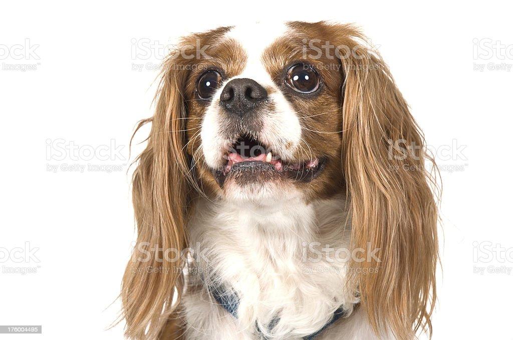Puppy Cocker Spaniel Dog Pet Portrait royalty-free stock photo