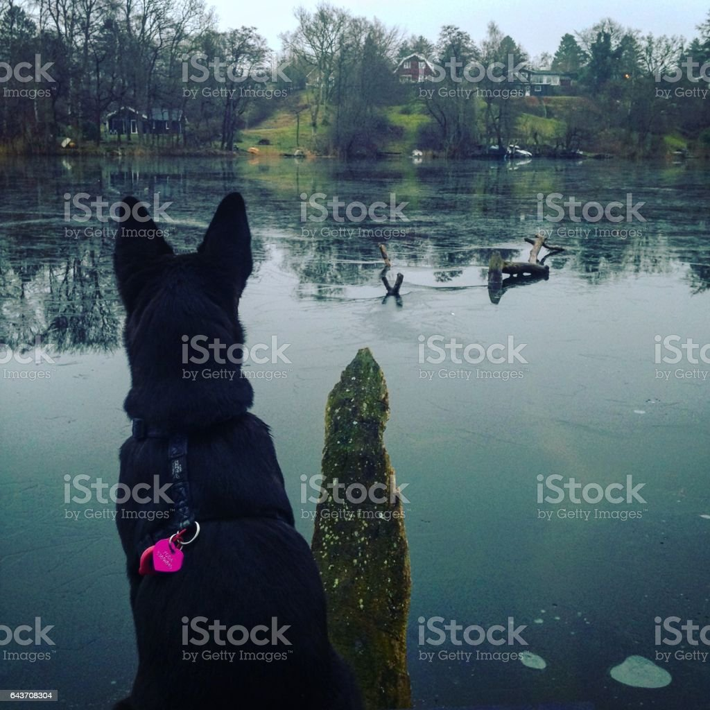 Puppy contemplating a lake. stock photo