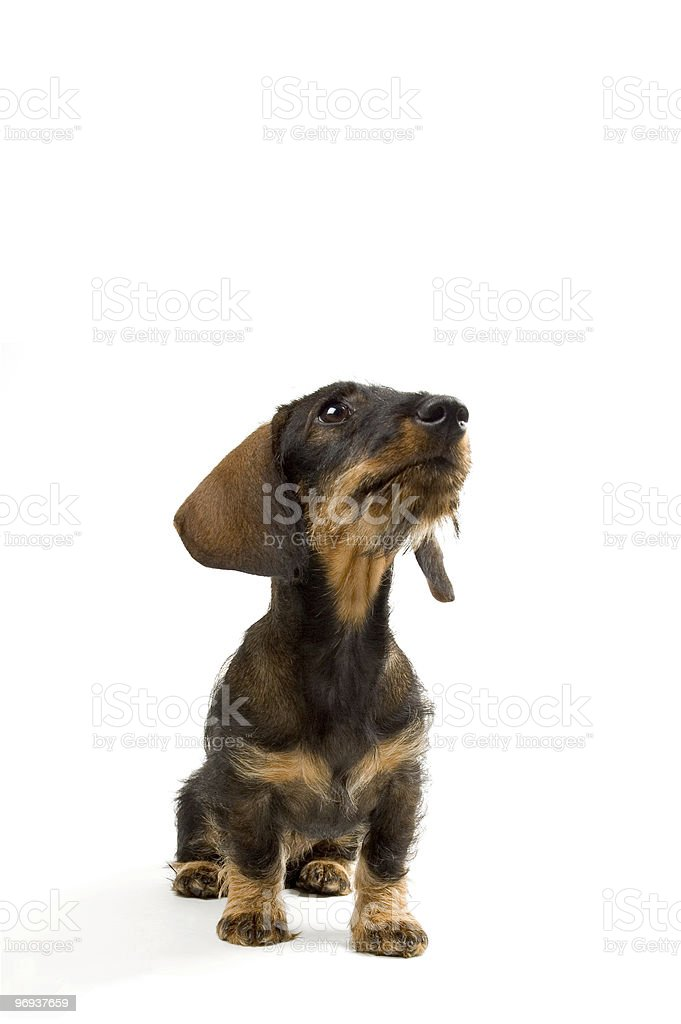 Puppy dachshund looking up royalty-free stock photo