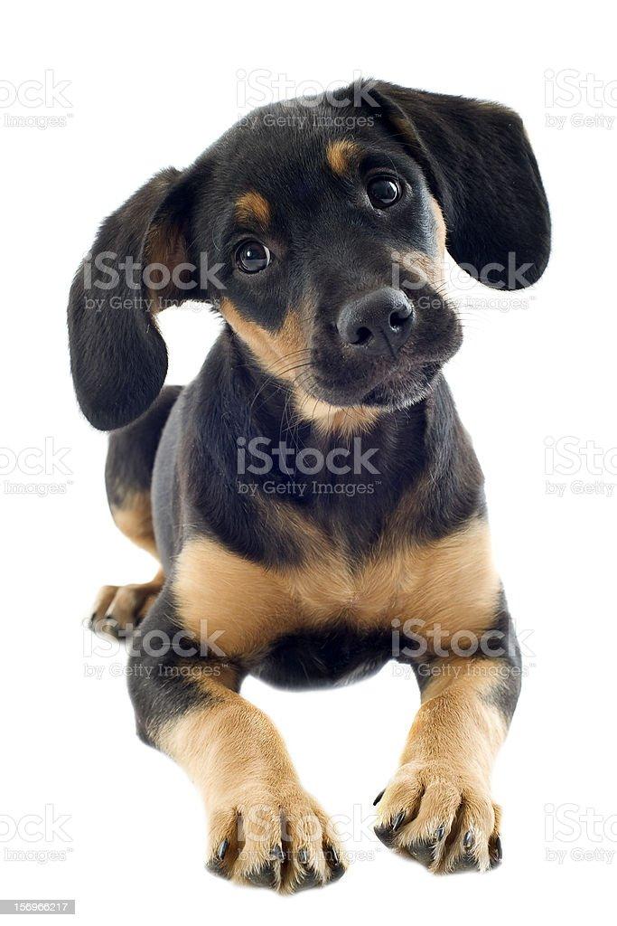 puppy doberman stock photo
