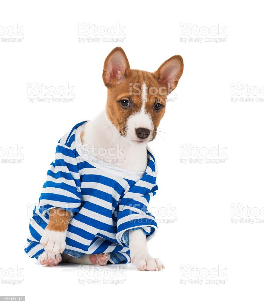 puppy dog breed Basenji stock photo