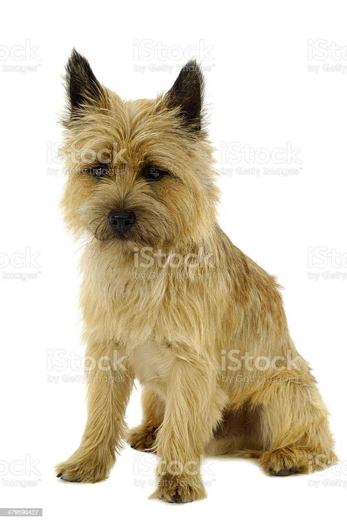 Puppy dog - Cairn Terrier stock photo