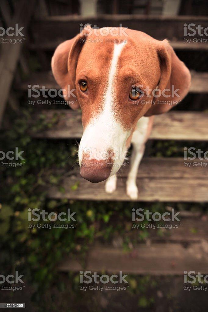 Puppy Dog Eyes stock photo