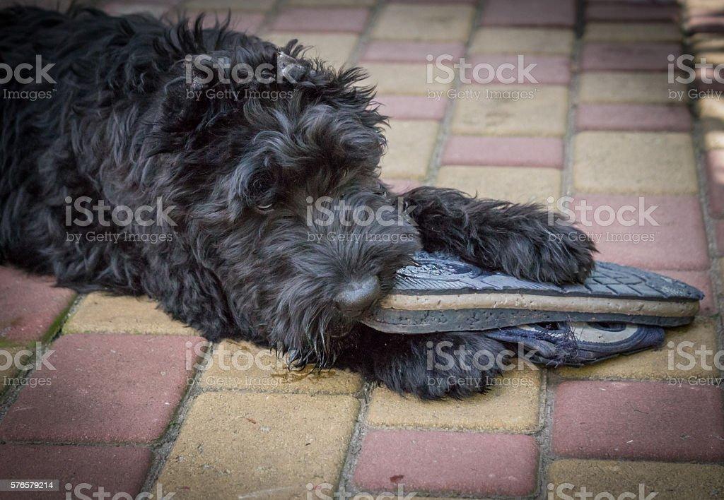 Puppy dog giant Schnauzer stock photo