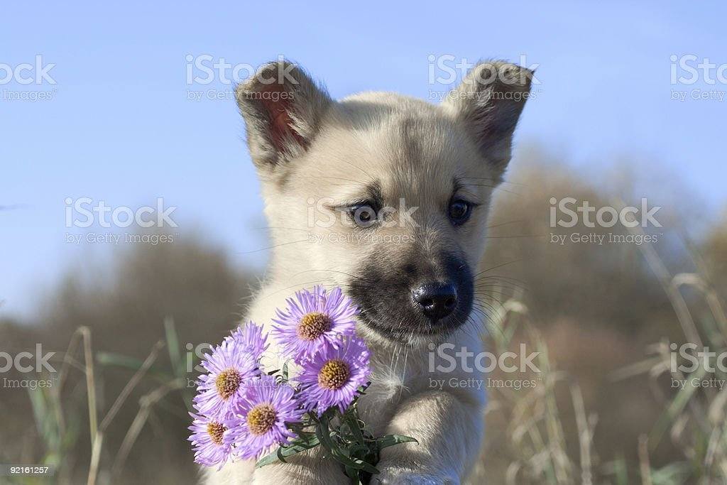 puppy dog hold flowers in forefoots stock photo