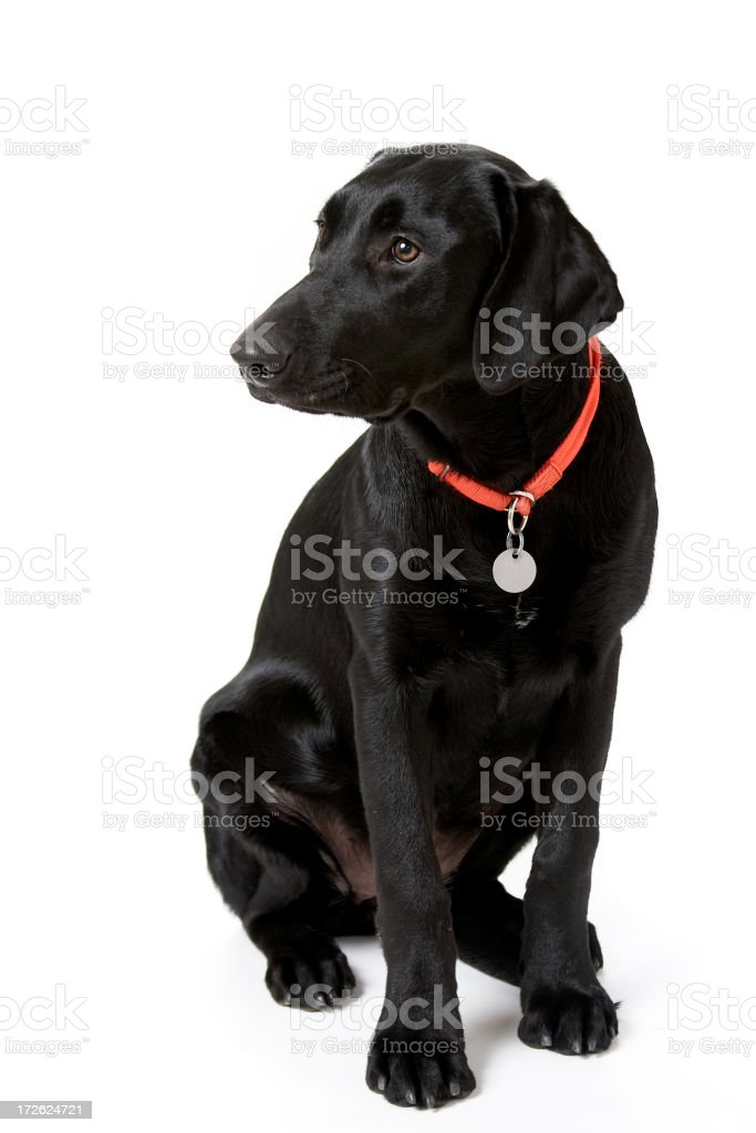 Puppy Dog in Training stock photo