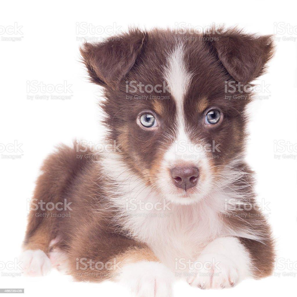 Puppy Dog on White Background \tAustralian Shepherd Sheepdog stock photo