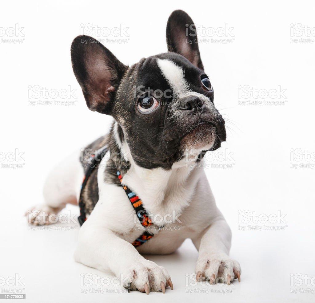 Puppy dog royalty-free stock photo