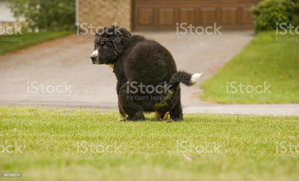 puppy dog poop on grass polution animal pooping stock photo
