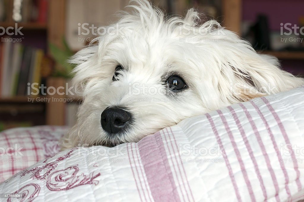 puppy dog resting royalty-free stock photo