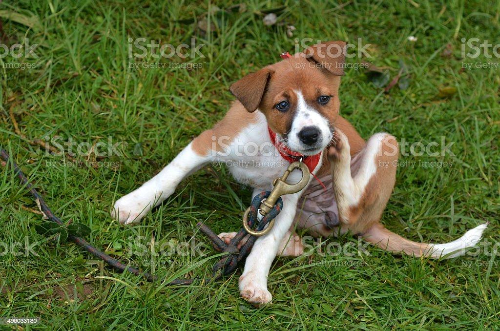 Puppy dog scratching stock photo