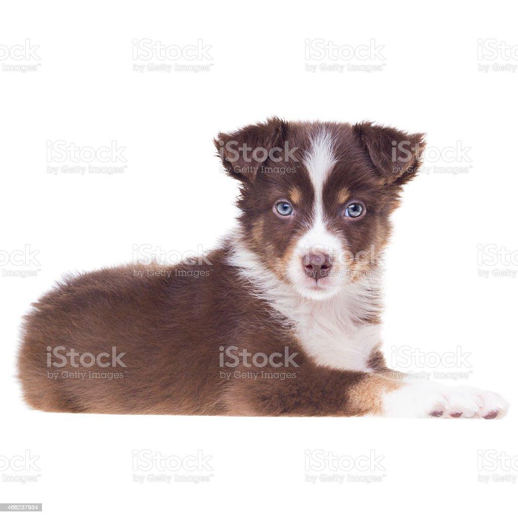 Puppy Dog | White Background | Australian Shepherd Sheepdog stock photo