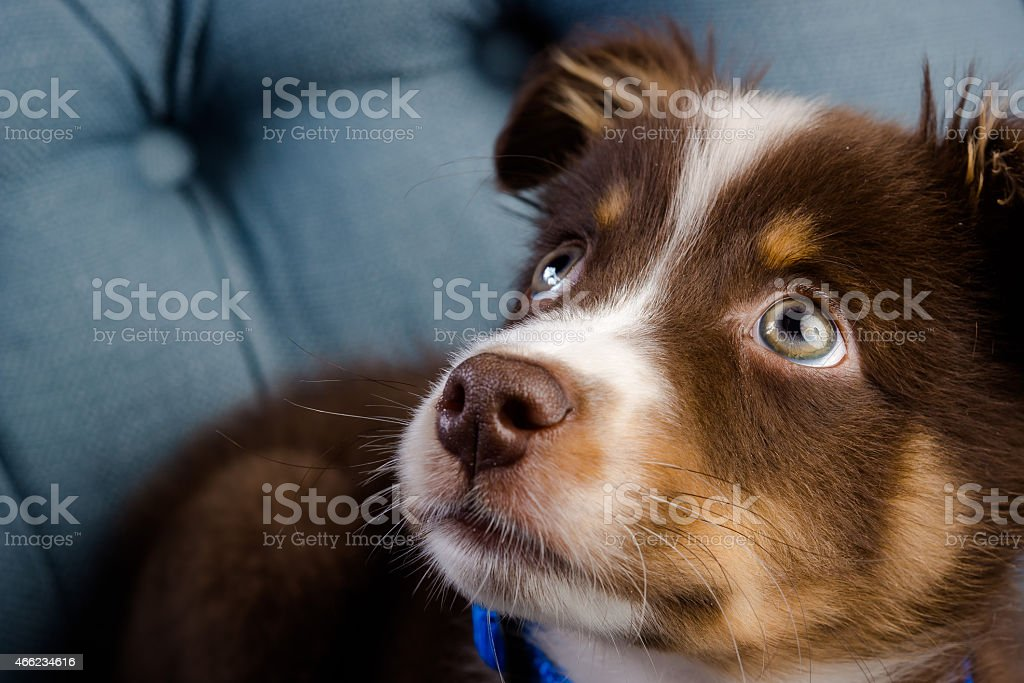 Puppy Dog with Big Eyes Looking Up | Classic Touch stock photo
