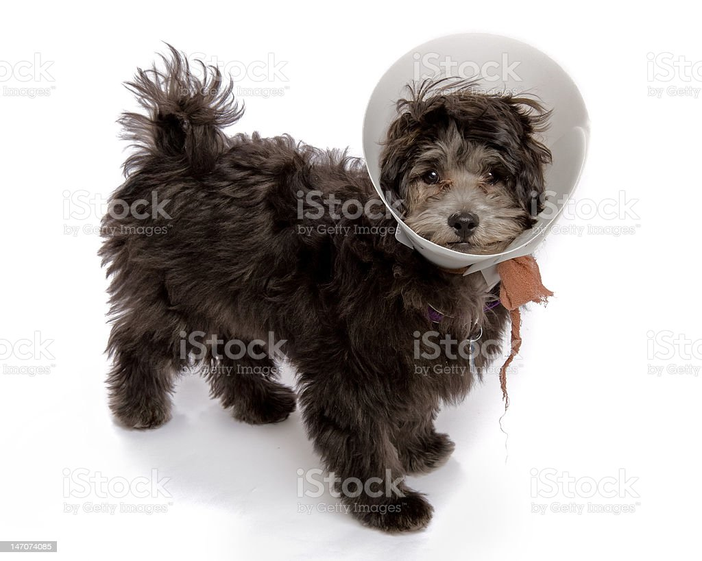 Puppy Dog with E-collar Elizabeth Surgical Collar royalty-free stock photo