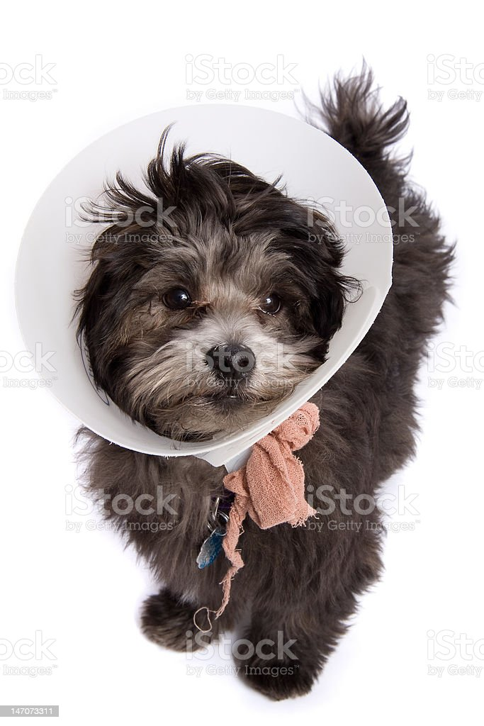 Puppy Dog with E-collar Elizabethan Surgical Collar stock photo