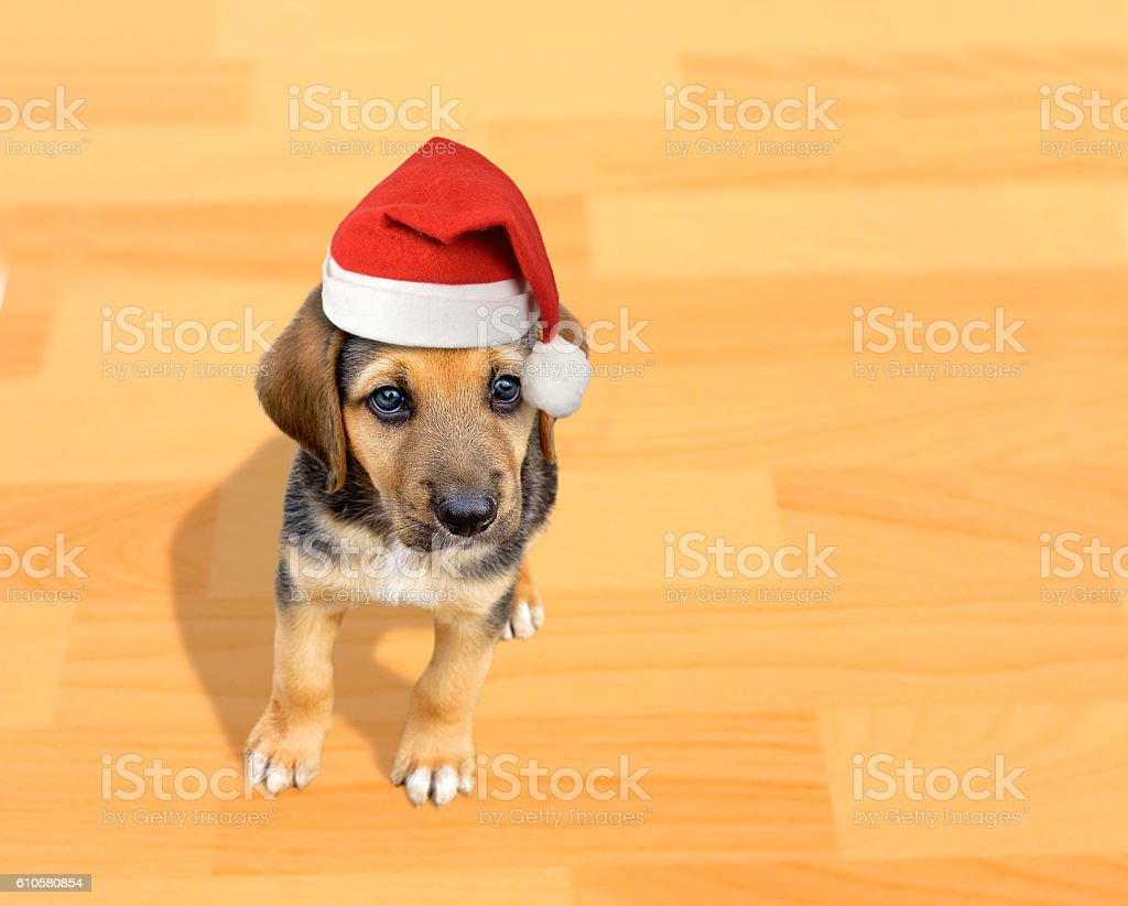 puppy dog with santa hat stock photo