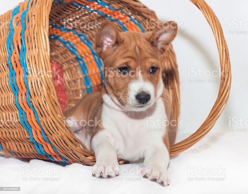 puppy dogs not barking African dog breed basenji stock photo