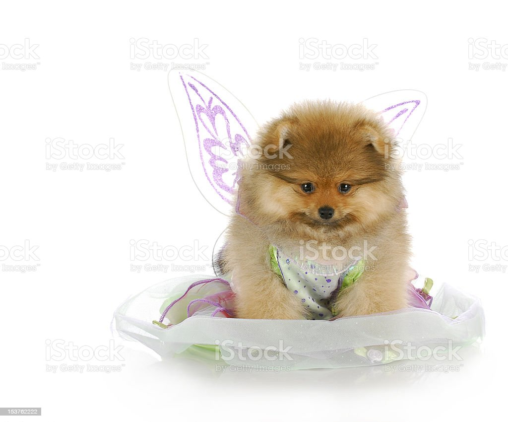 puppy dressed up as an angel royalty-free stock photo