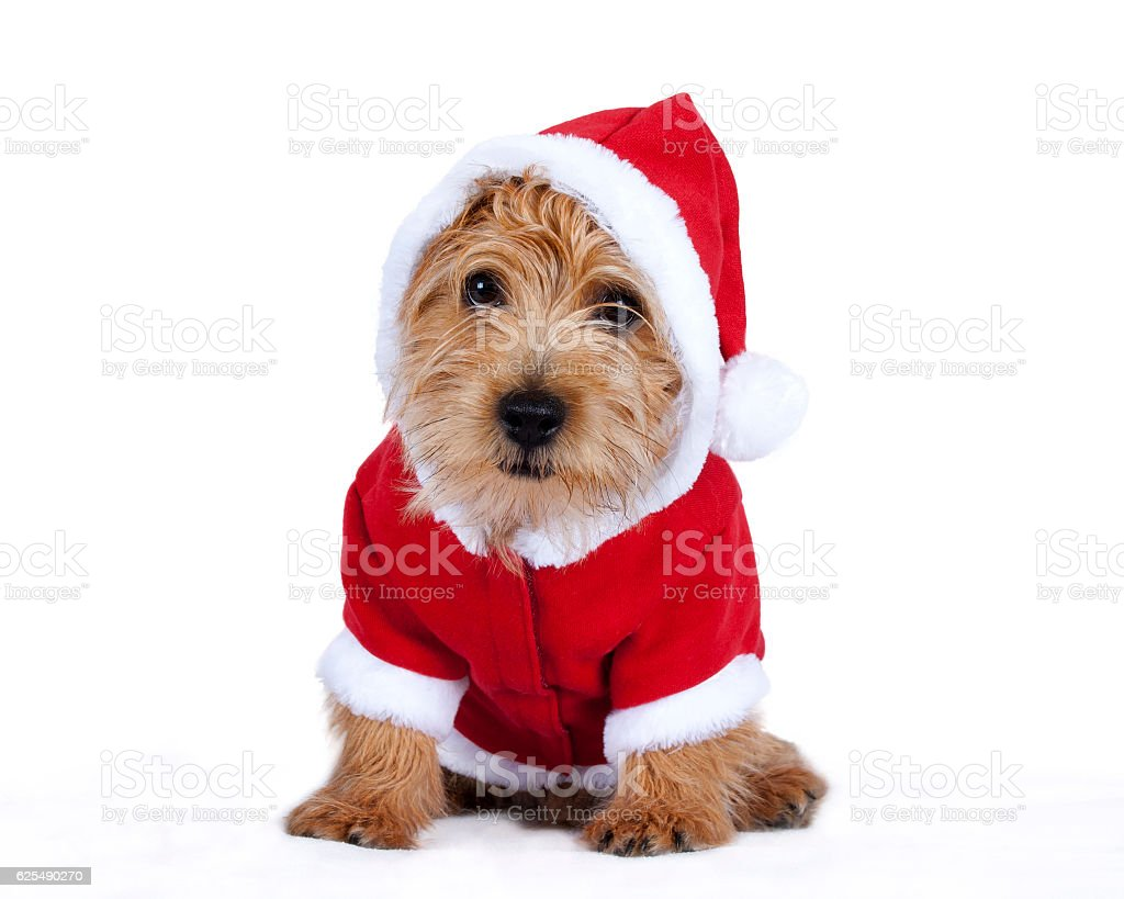 Puppy dressed up in Christmas clothing stock photo