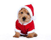 Puppy dressed up in Christmas clothing