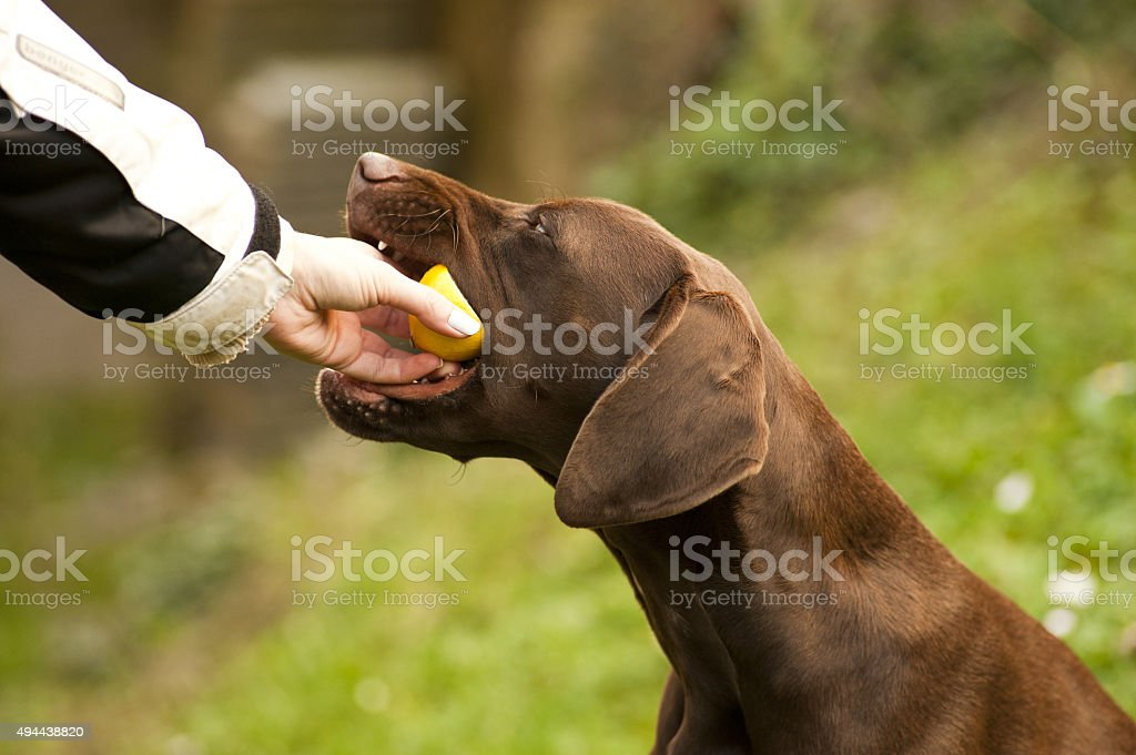 Puppy eaitng lemon stock photo