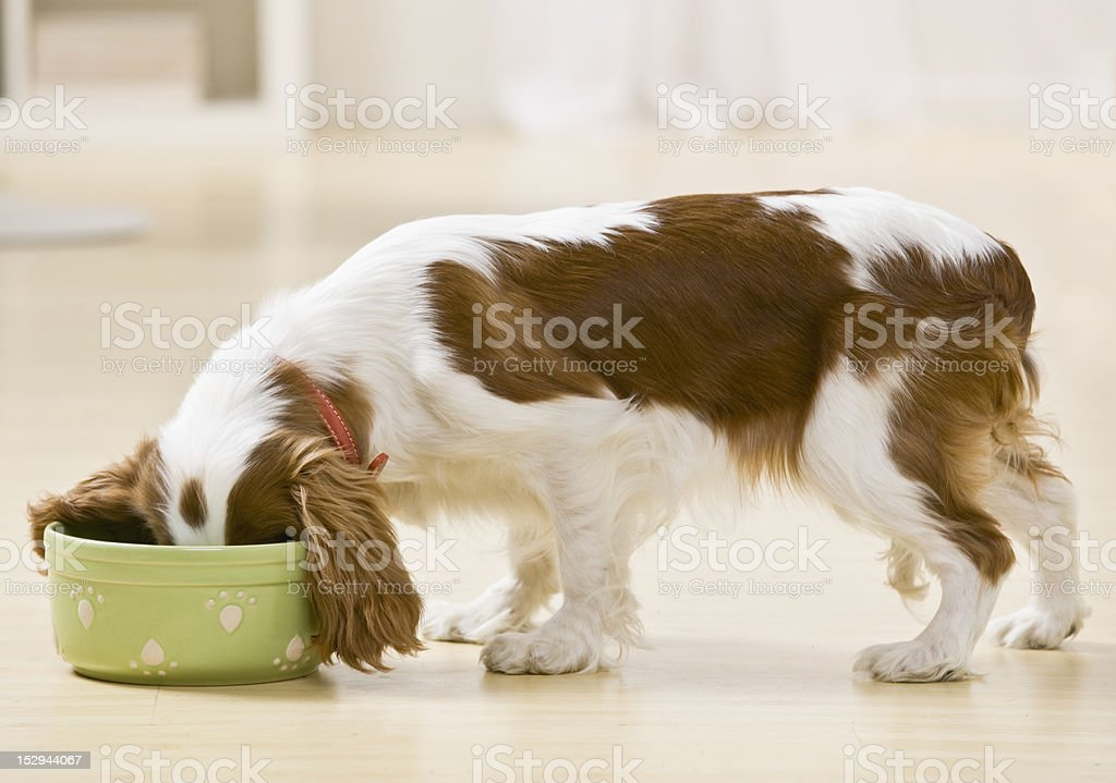 Puppy Eating stock photo
