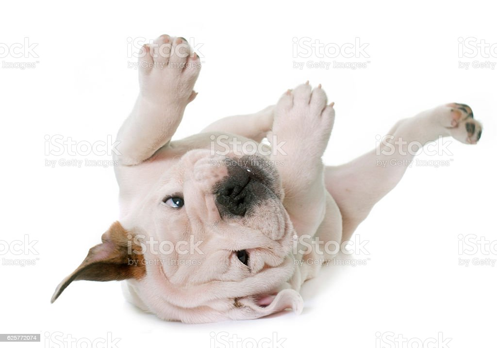 puppy english bulldog stock photo