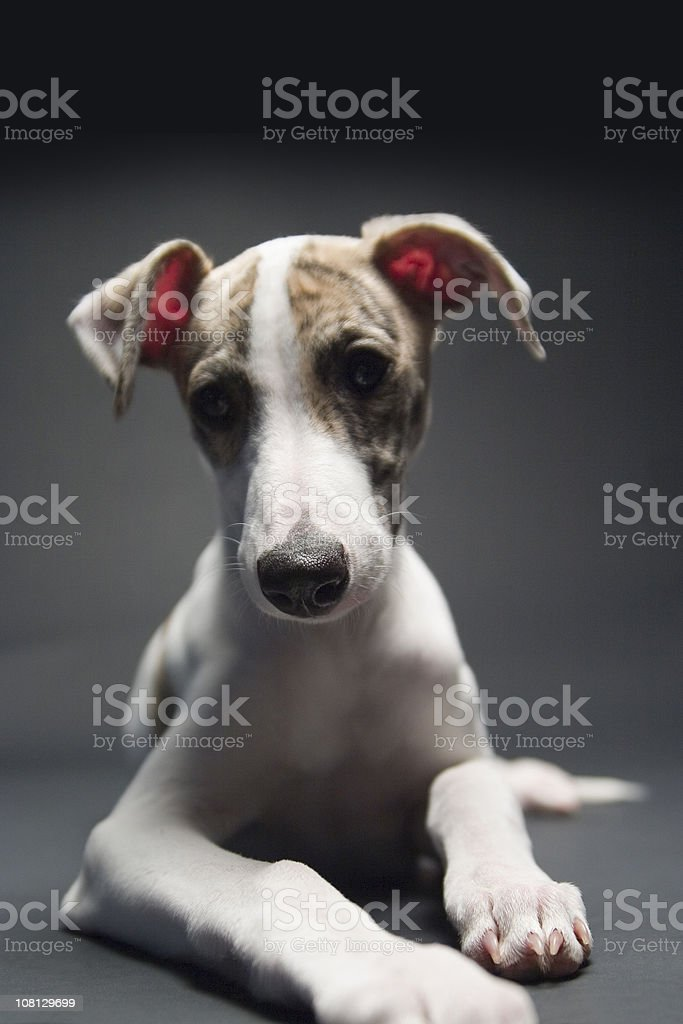 Puppy Expressions royalty-free stock photo
