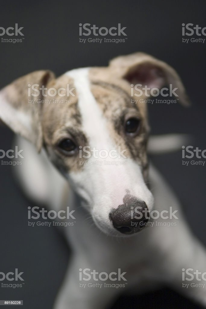 Puppy Expressions stock photo